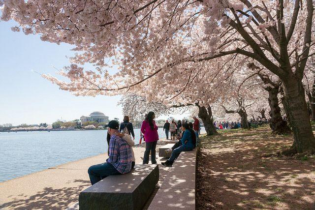 Cherry blossoms in Washington, DC park