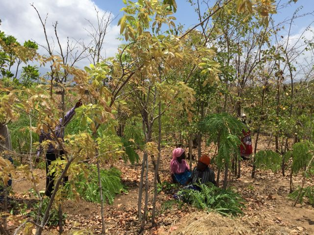 A community woodlot in Malawi