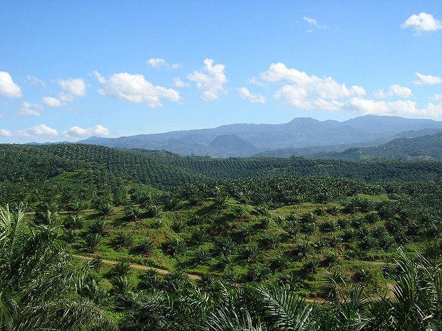 Oil palm plantation in Bogor, Indonesia