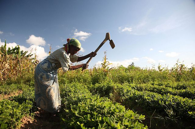 A farmer in central Malawi plants groundnuts.