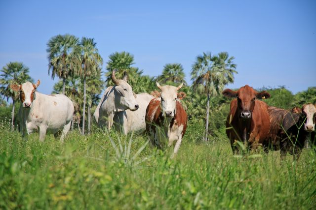 Cows in the Paraguayan Chaco. Flickr/Arcadius.