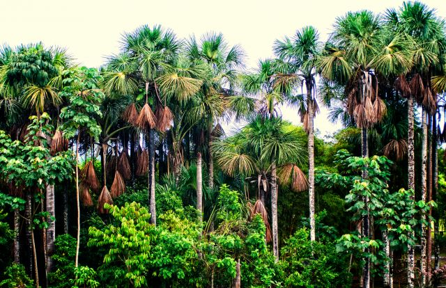Aguaje trees in Peru. Flickr/CIFOR