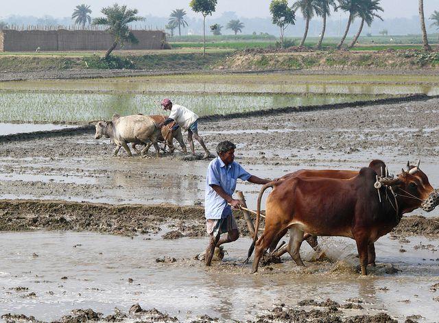 Bangladesh farmer