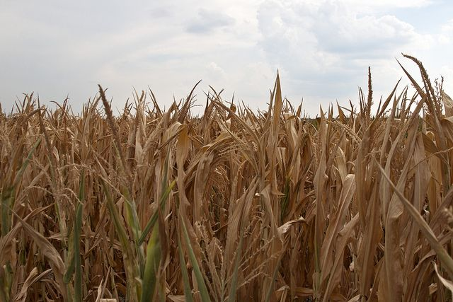Water limits to corn production are likely to be exacerbated as climate change alters global precipitation patterns. Photo Credit: Jane/Flickr