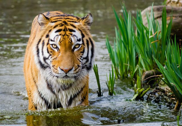 The Siberian tiger's habitat is threatened by illegal logging. Photo by Mathias Appel/Flickr.