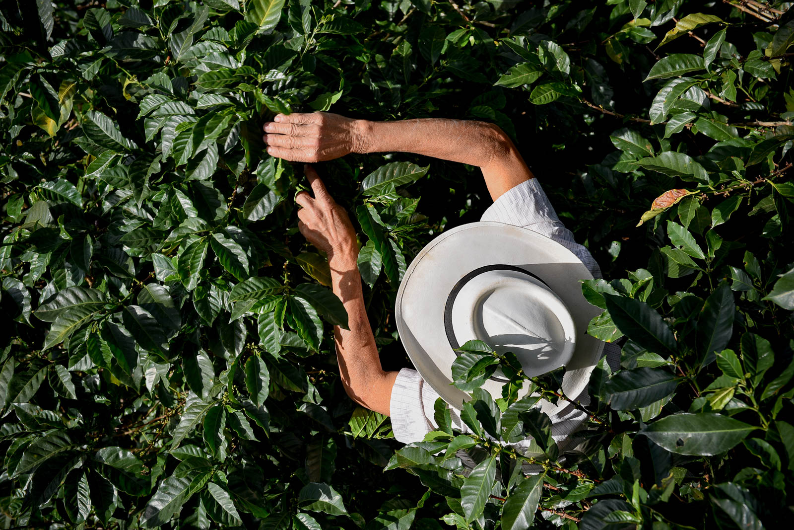 <p>Coffee farmer in Colombia. Flickr/CIAT</p>