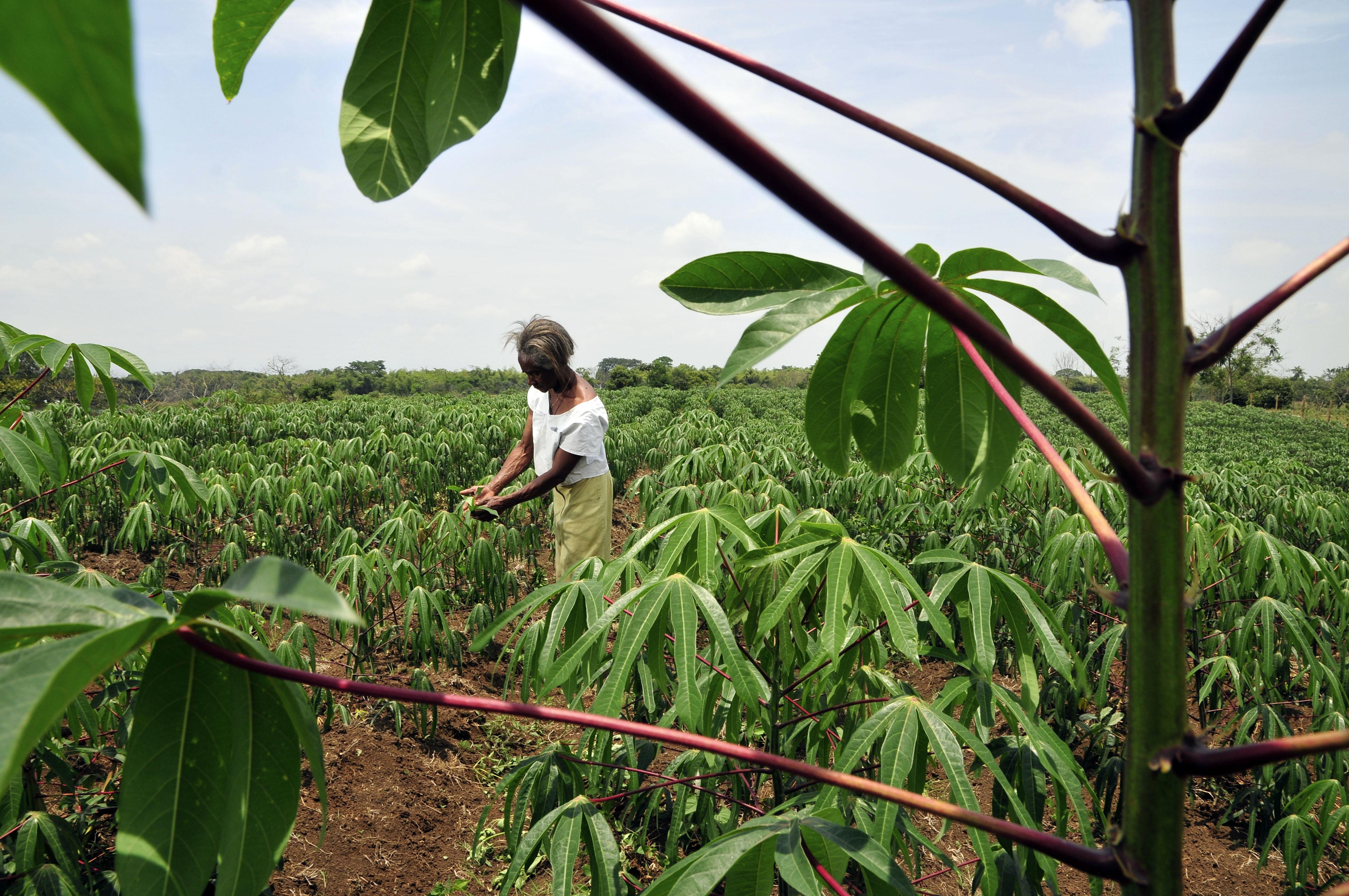 <p>Cassava farmer in southwest Colombia. Flickr/CIAT</p>