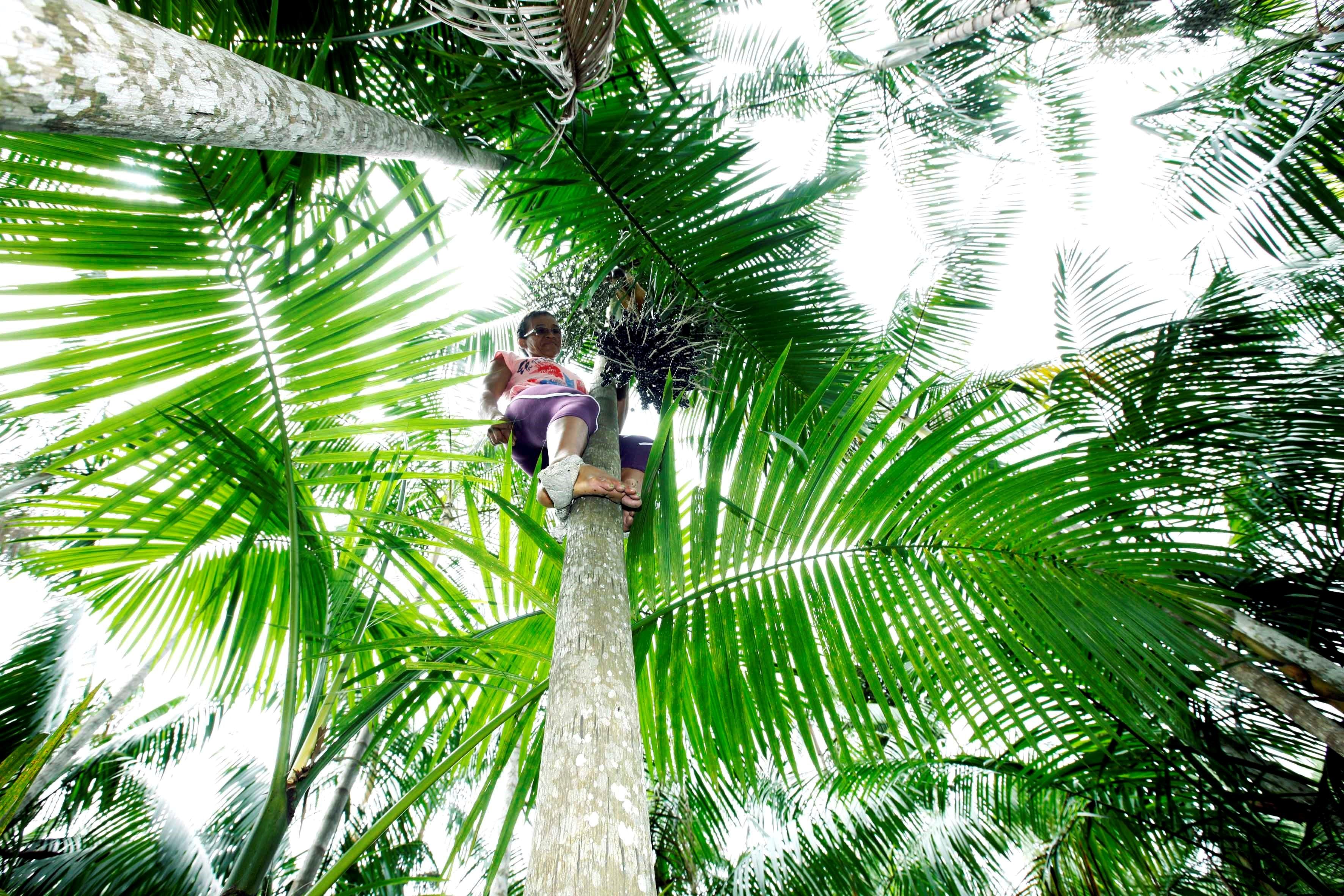 <p>Edina dos Anjos do Nascimento Siqueira climbs an açaí tree to harvest the berry. Photo by Sidney Oliveira/AG Pará</p>