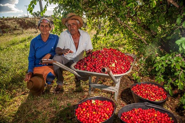 <p>Harvesting acerola fruit from trees planted among farm fields. Photo by Luiz Fernando Ricci/WRI Brasil</p>