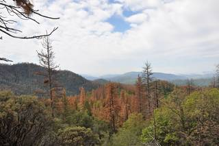 <p>Dead and dying ponderosa and sugar pine on the Hume Lake Ranger District, Sequoia National Forest, California. Credits: USDA Forest Service</p>