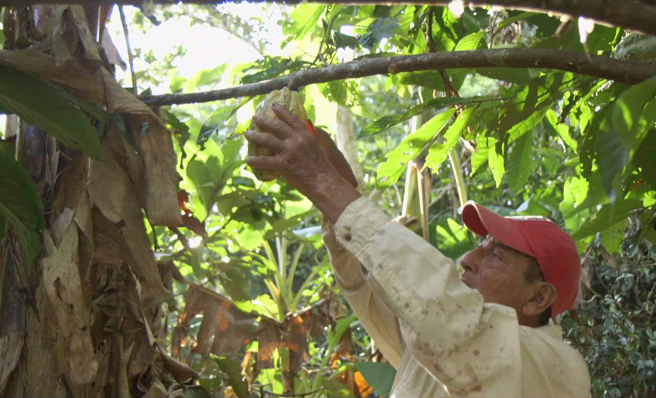 <p>A farmer harvesting cacao in the Tambopata-Bahuaja REDD+ and Agroforestry Project. Photo: Althelia</p>
