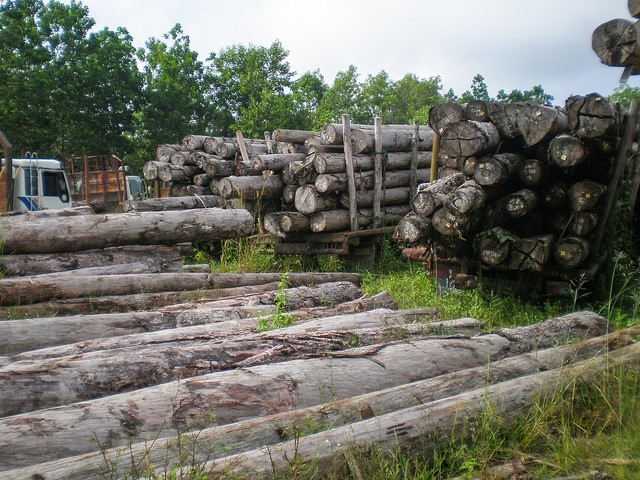 <p>Illegal logs impounded in Riau, Indonesia. Photo by Sofi Mardiah/CIFOR</p>