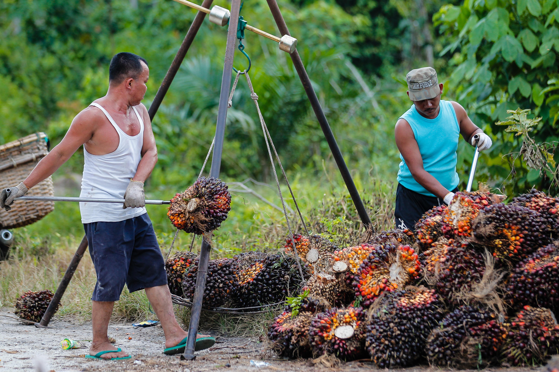 <p>Weighing the oil palm harvest. Photo by Ridhwan Siregar/WRI Indonesia</p>