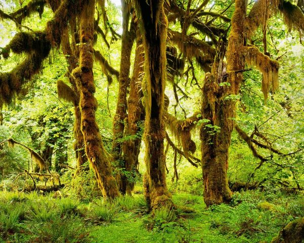 Moss-covered bigleaf maple trees in the Hoh Rainforest