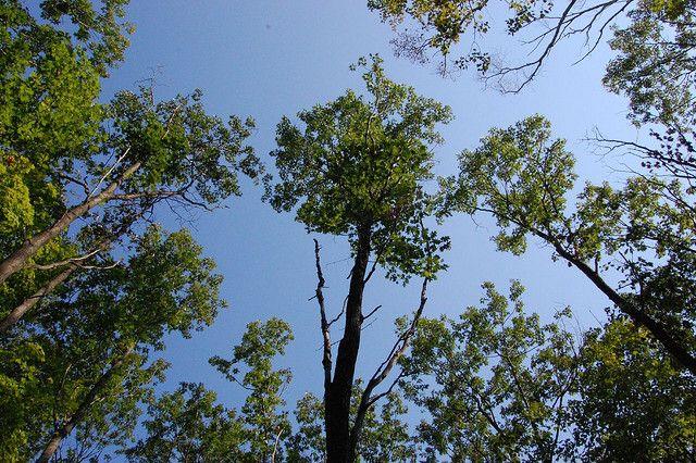Oak trees in Minnesota.