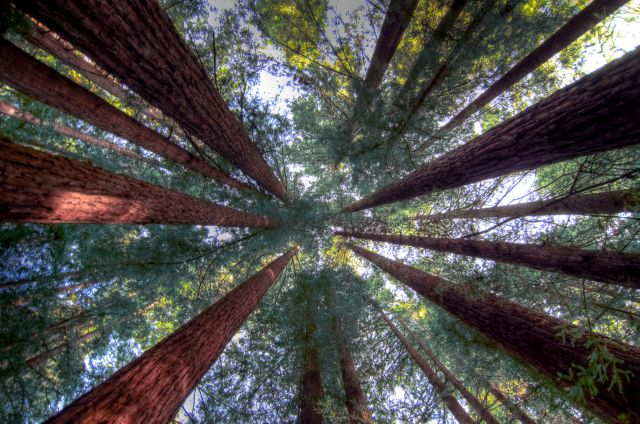 A circle of California redwoods