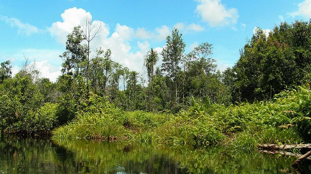 Peat swamp forests of the Katingan Peatland Reserve in Central Kalimantan, Indonesia.