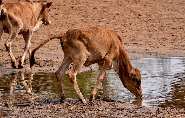 Hamar cattle, Demeka, Ethiopia
