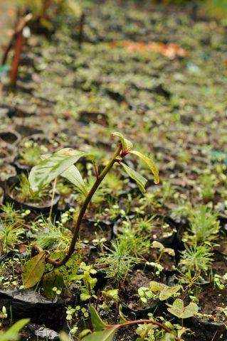 seedling in a Kenyan nursery