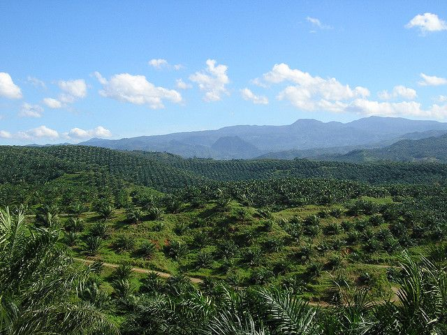 Oil palm plantation in Bogor, Indonesia