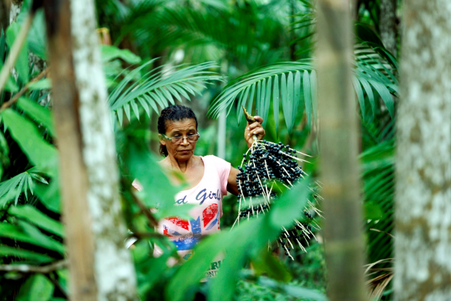 açaí picker in Brazil