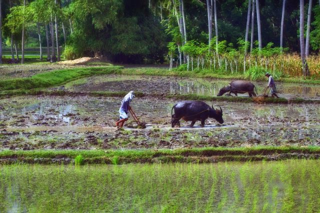 Filipino farmers plowing rice field with carabao