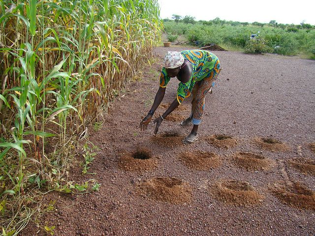 A farmer in Africa's Sahel region uses innovative practices to adapt to a changing climate. Photo credit: M. Tall, CCAFS, West Africa