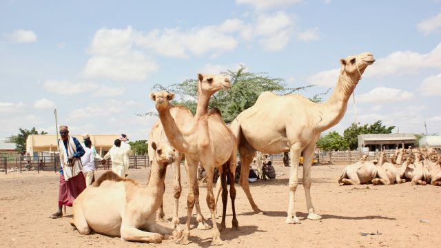 Camel traders at a livestock market in Kenya