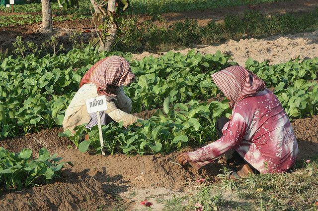 Farmers in Cambodia are threatened by the impacts of climate change. Photo credit: Asladhrra, Flickr