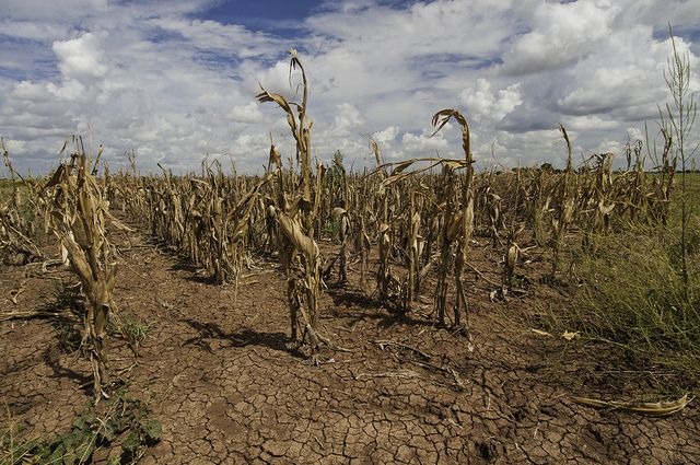 Drought affected corn crops in Texas in August 2013. Photo credit: USDA, Flickr