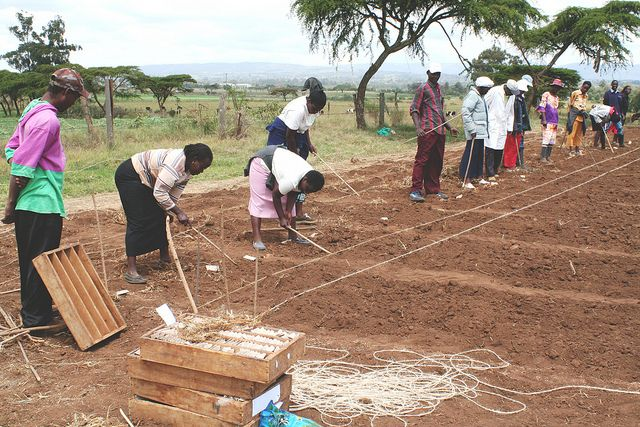 Kenyan farmers plant rust-resistant wheat. Photo by Petr Kosina / CIMMYT