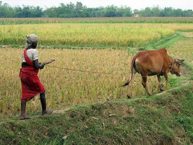 A farmer walks her cow through paddies in Bangladesh. Photo credit: jankie, Flickr