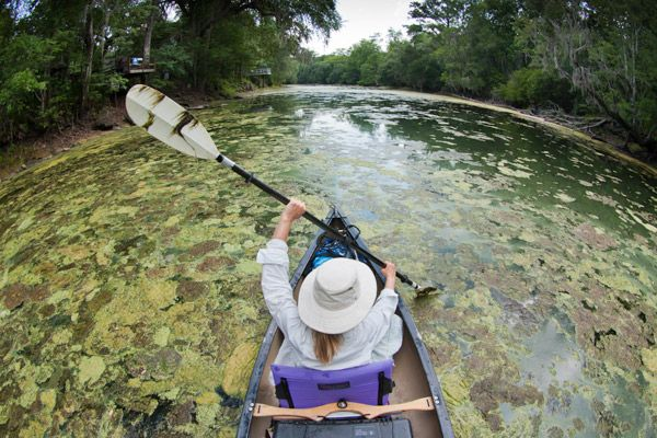 Algal blooms in Florida's Santa Fe River