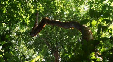 A twisting branch of mahogany