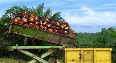 Palm oil fruit is loaded in Indonesia