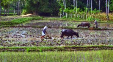 Filipino farmers plowing rice field with carabao