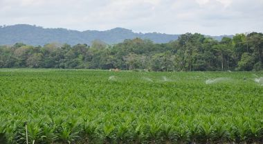 Oil palm plantation in Gabon