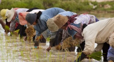 Cambodian rice farmers