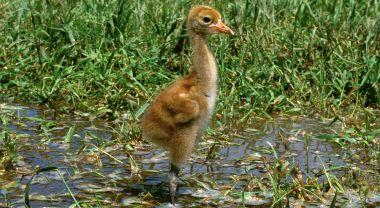 Whooping crane chick. Photo by International Crane Foundation/Wikimedia Commons