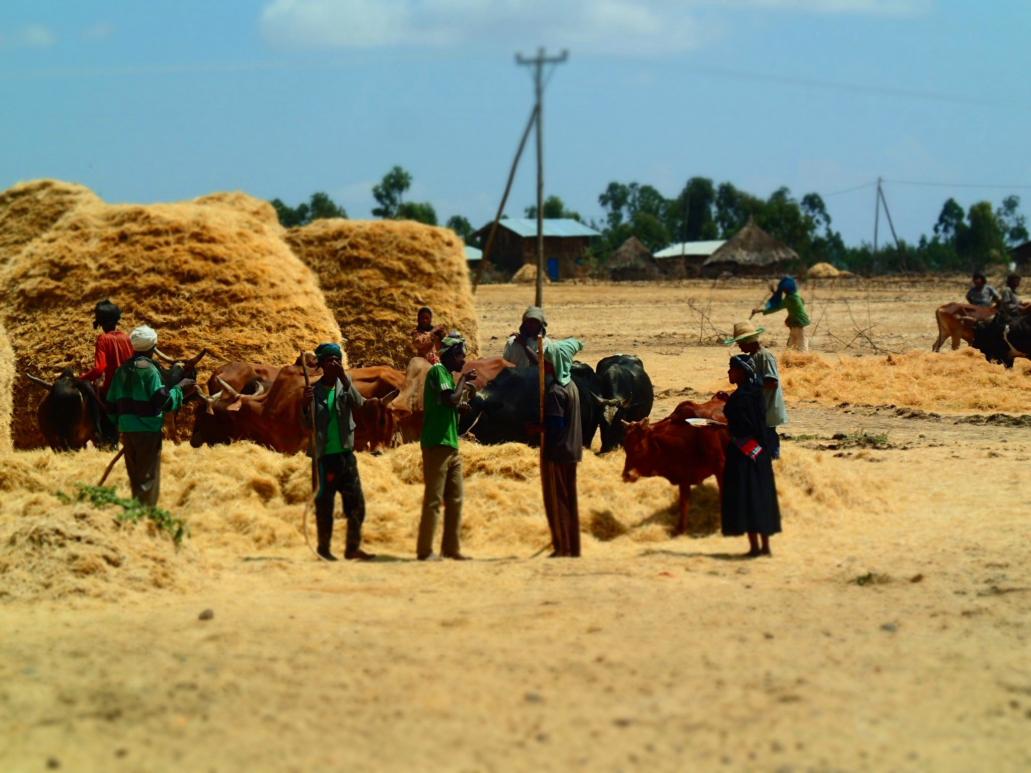 <p>Harvest in Ethiopia. Photo by SarahTz/Flickr</p>