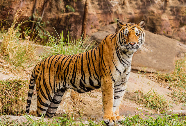<p>Bengal tigers are one of many animals that call India's Niyamgiri Hills home. Photo by Derrick Brutel/Flickr</p>