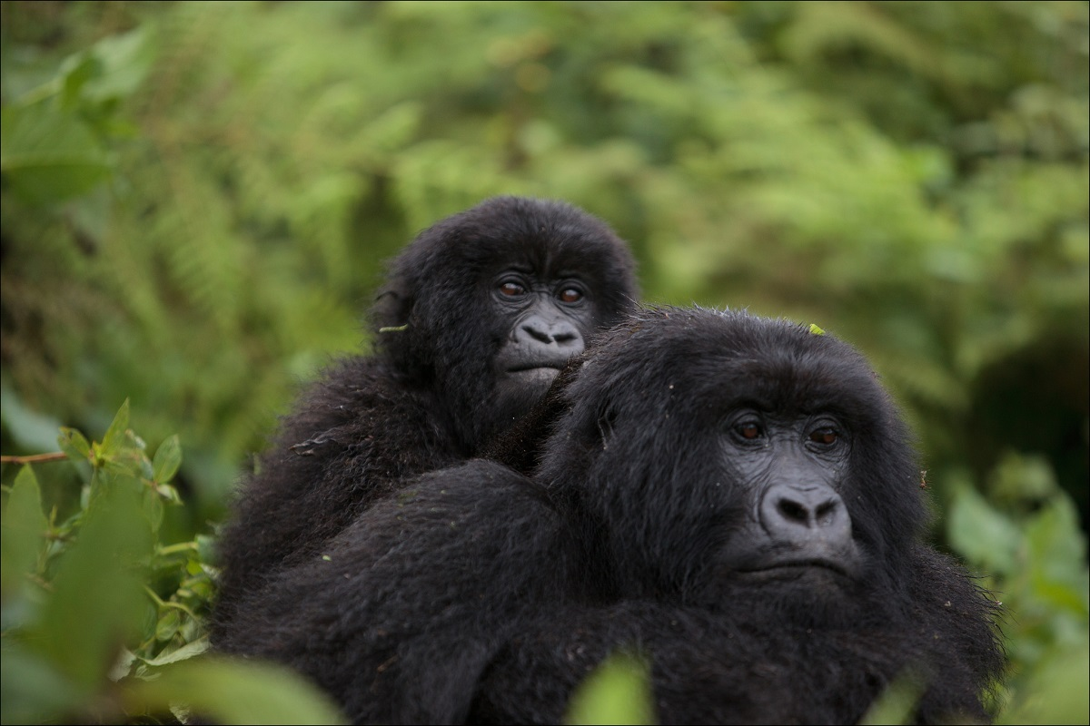 <p>Gorilles in  Virunga. Photo par Ludovic Hirlimann/Flickr</p>