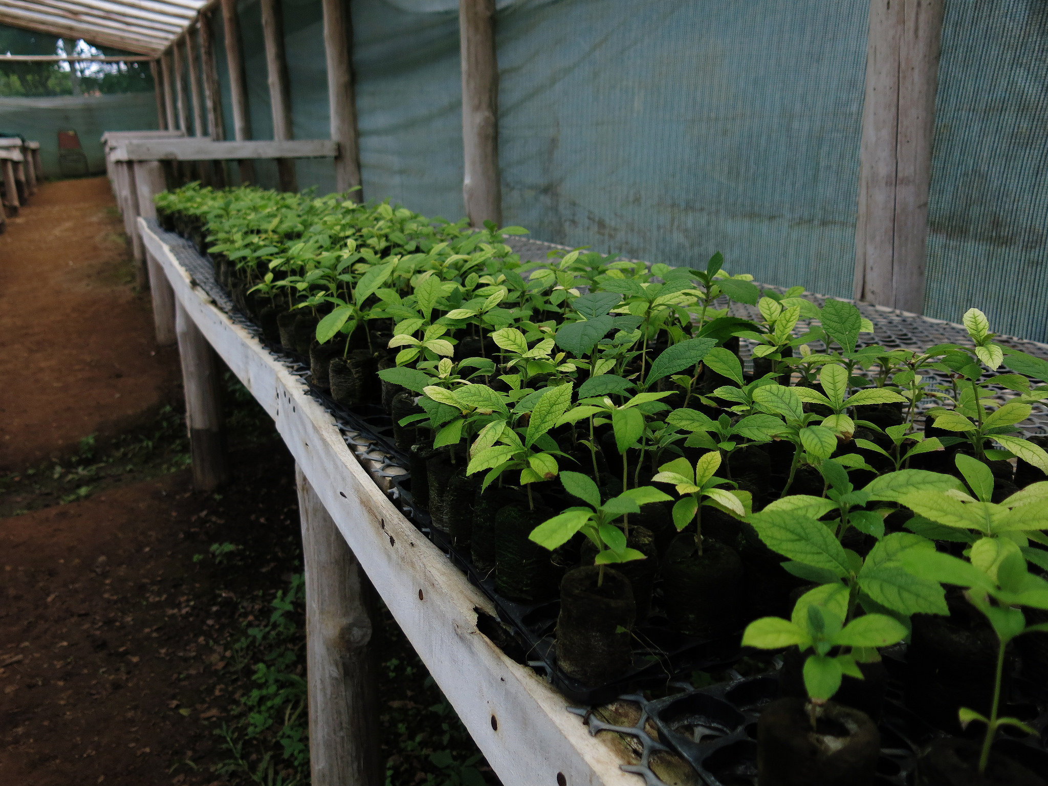 <p>Seedlings lined up ahead of planting in Costa Rica. (Photo by Luciana Gallardo, WRI)</p>