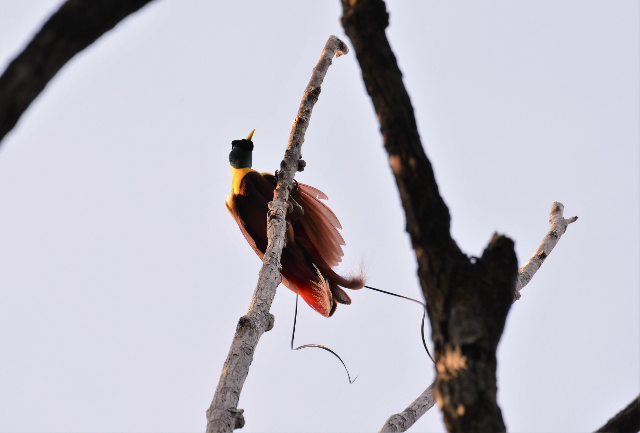 <p>One of Indonesia\'s iconic birds-of-paradise. Flickr/Pavel Kirillov</p>
