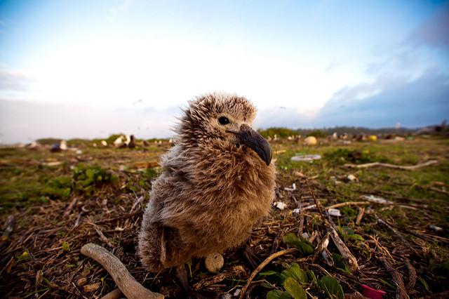 <p>Albatross chick in Papahanaumokuakea reserve. Photo by Kris Krüg/Flickr</p>