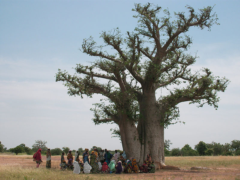 <p>Baobab trees, some of which are 2,500 years old, are dying. Scientists suspect extreme drought and high temperatures could be to blame. Photo by ACEI Cheung/Wikimedia Commons</p>