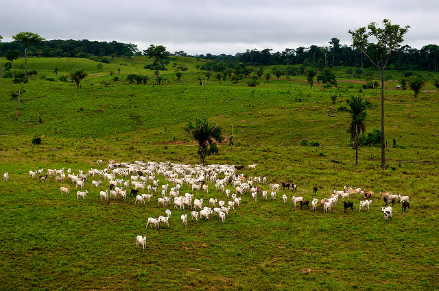 <p>Cattle farming in Acre, Brazil. Photo by Kate Evans/CIFOR</p>
