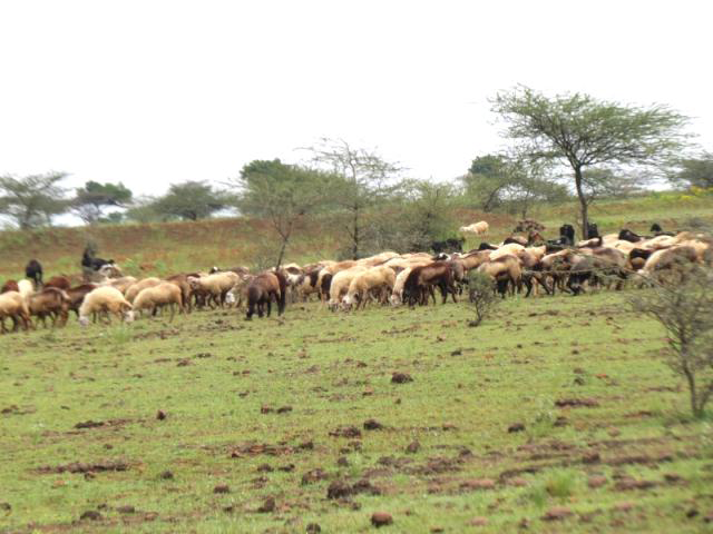<p>Grazing threatens the Mayureshwar Wildlife Sanctuary.</p>