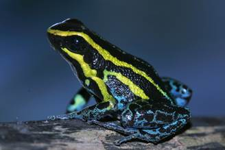 <p>Sky blue poison dart frog. Photo by William E. Duellman/University of Kansas.</p>