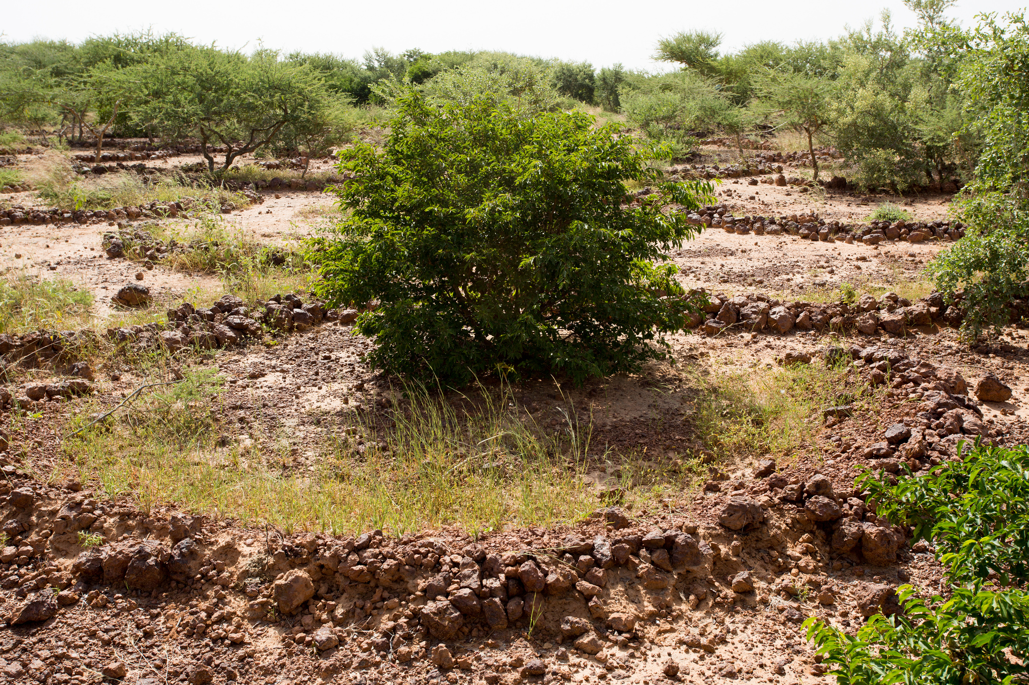 <p>Trees retain water on restoration land in Niger. Rodrigo Ordonez/GLF</p>